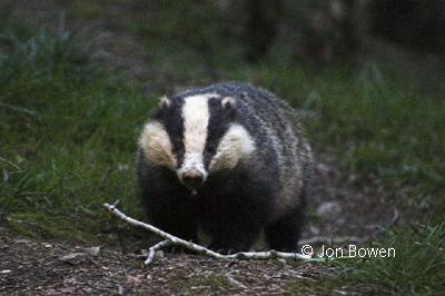 Copyright Jon Bowen photo of a badger